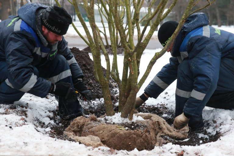 пересадка взрослых деревьев