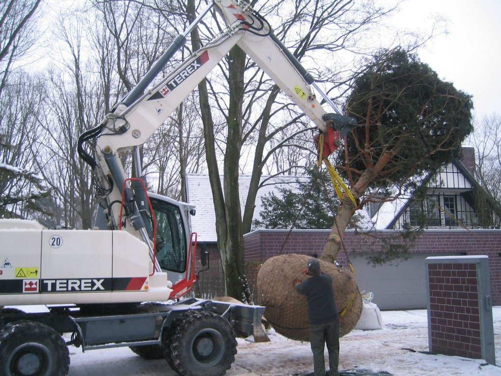 пересадка крупных деревьев