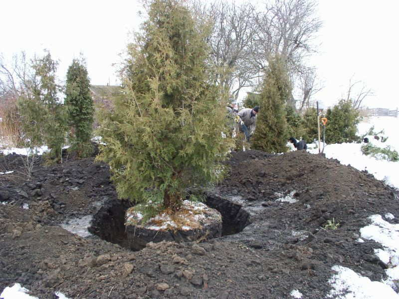 время пересадки деревьев