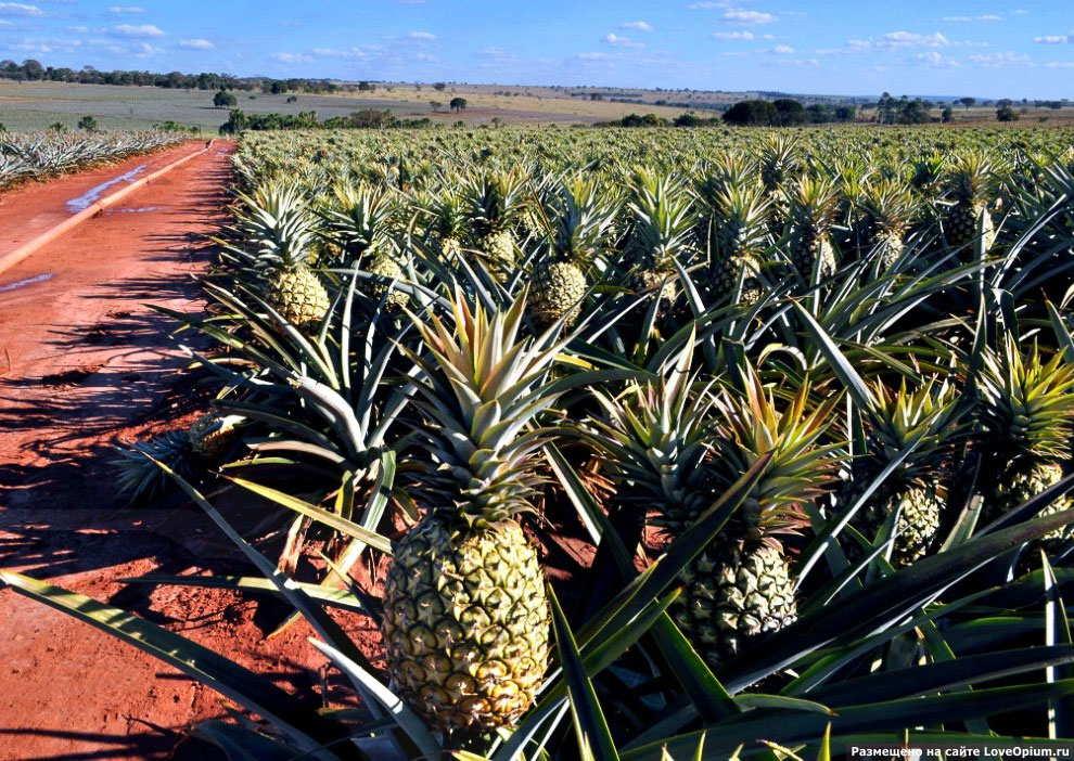 страна родина ананаса