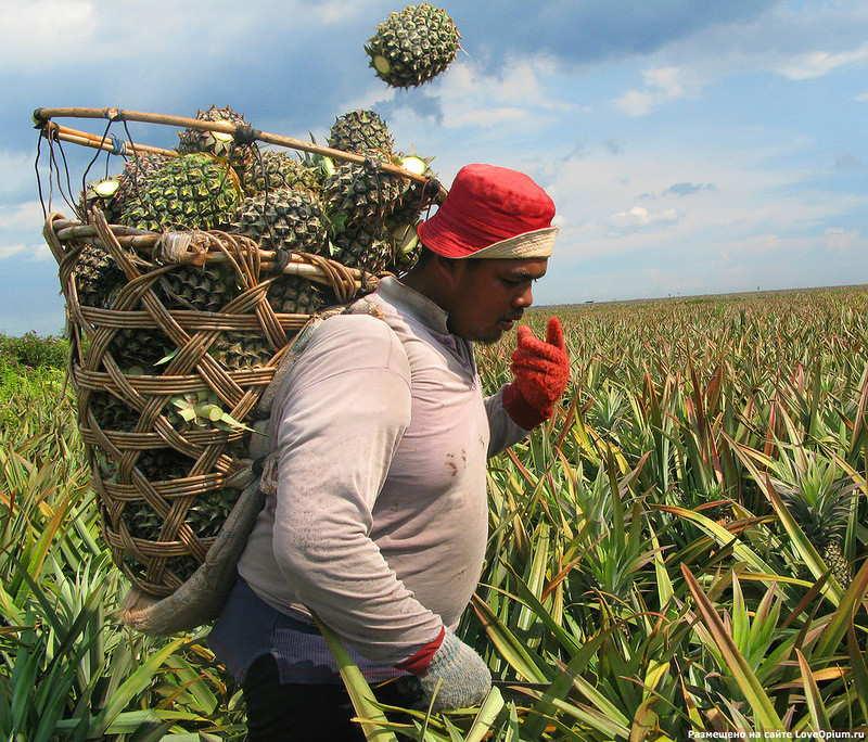 какая страна является родиной ананаса
