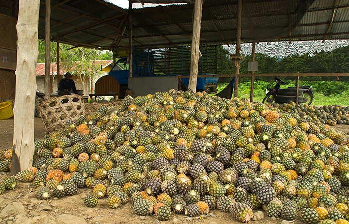 урожай ананасов+фото