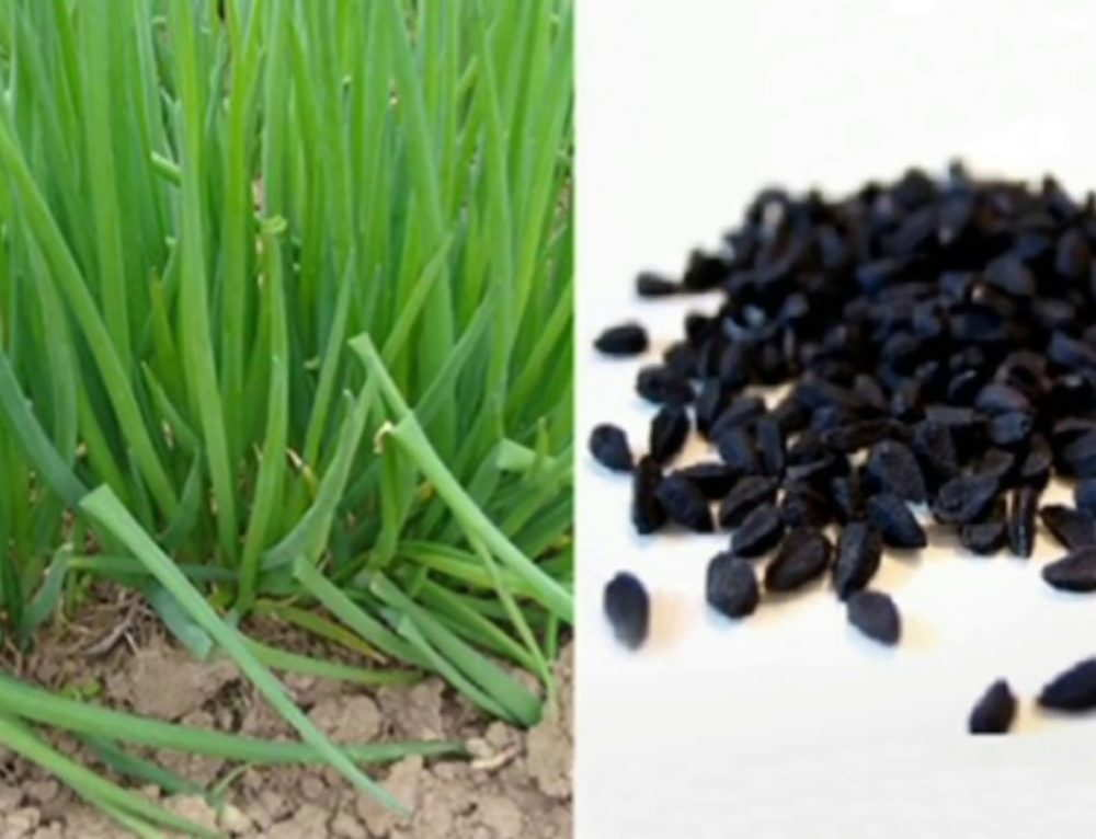 выращивание зеленого лука семенами