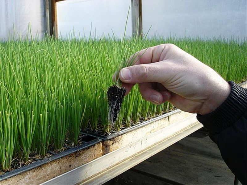 семена +для выгонки зеленого лука
