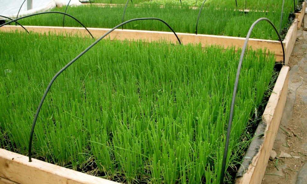 лук зеленое перо выращивание +из семян