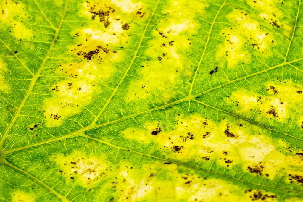 хлороз растений причины