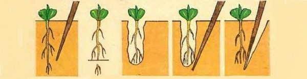 +при пикировке рассады корни прищипывают