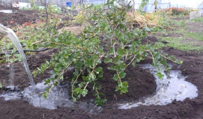 осенний полив деревьев +и кустарников