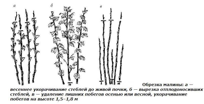 осенняя обработка малины обрезка