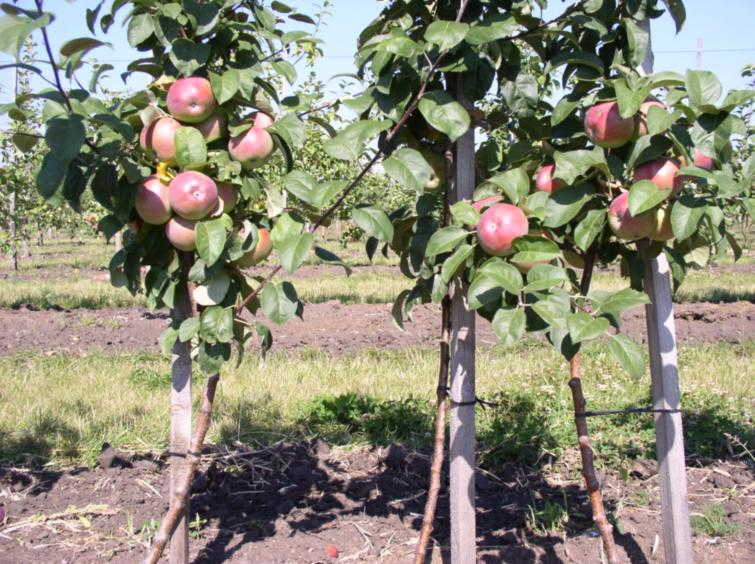 яблони +на карликовом подвое