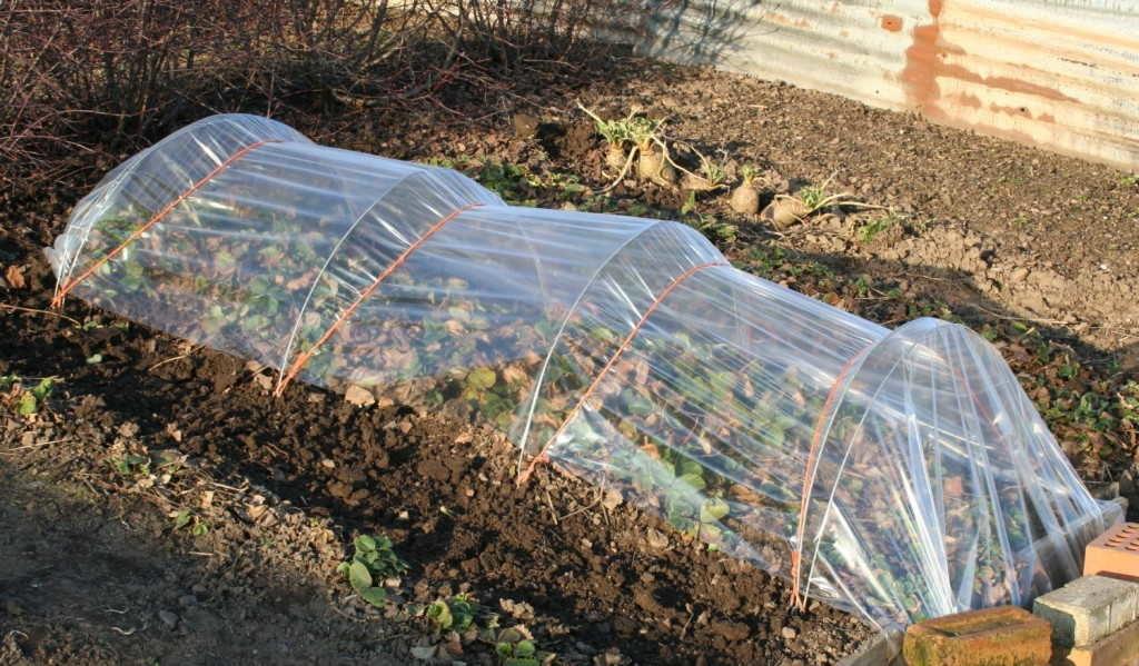 посадка земляники садовой