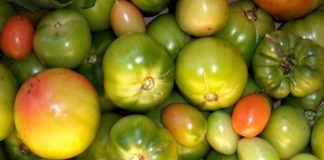 +как ускорить созревание томатов