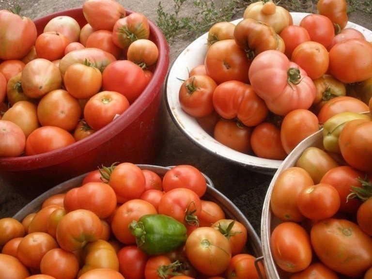 +как ускорить созревание томатов +в открытом