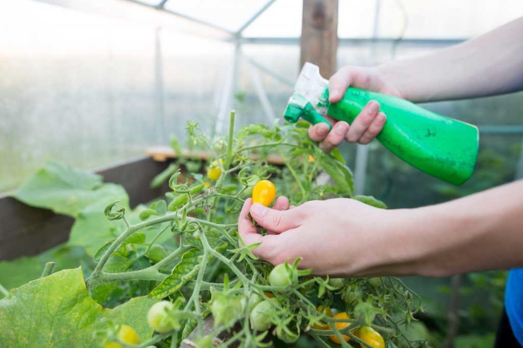+как ускорить созревание снятых томатов