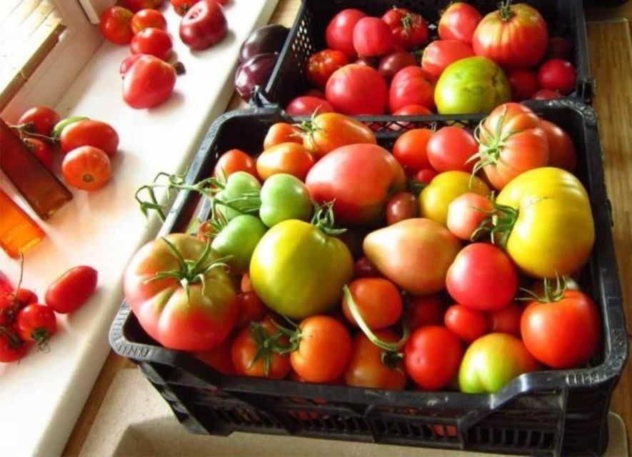 созревание снятых помидоров