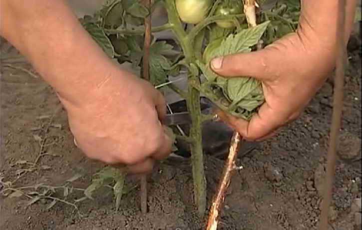 ускорение созревания помидоров