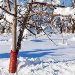 защита деревьев +от грызунов зимой