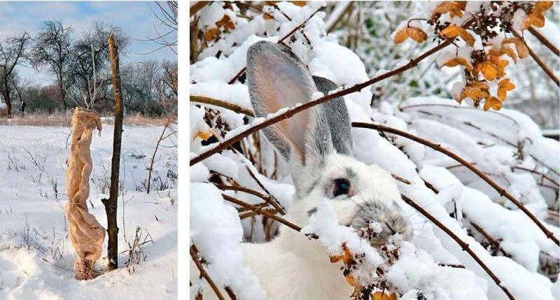 защита плодовых деревьев +от грызунов +на зиму