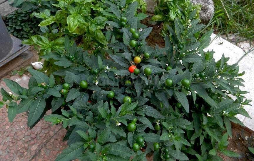 домашнее растение перцевидный паслен