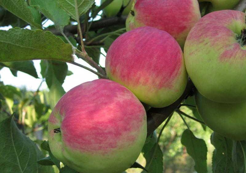 зимние сорта яблок +с фото +и описанием