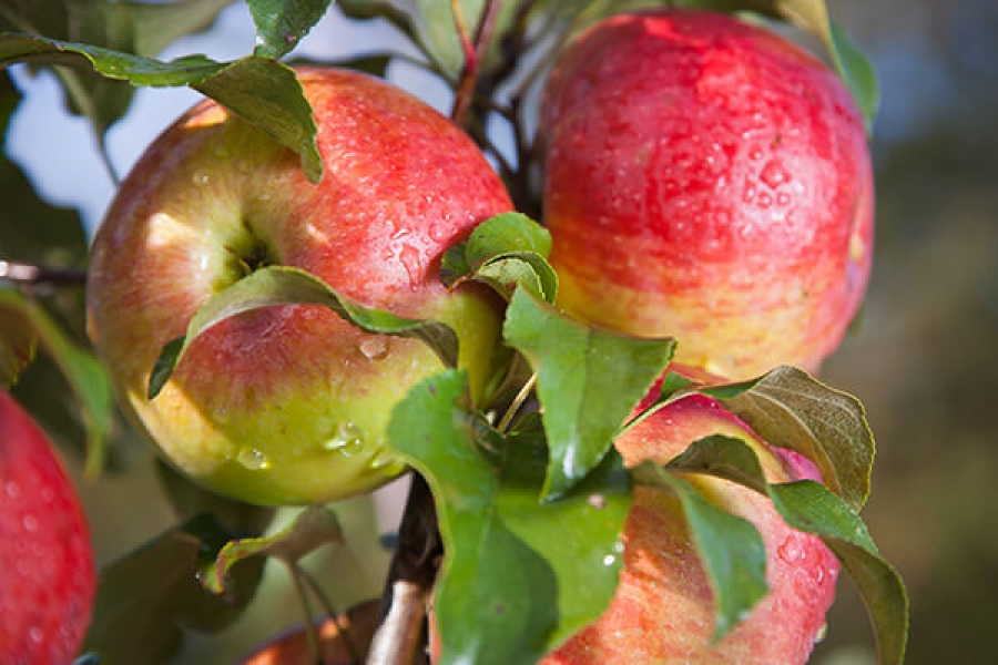 зимние сорта яблок +для средней полосы