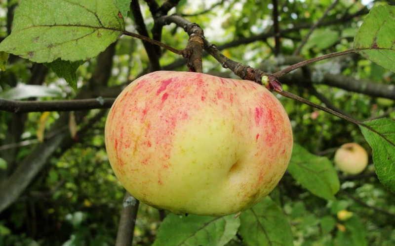 лучшие сорта зимних яблок