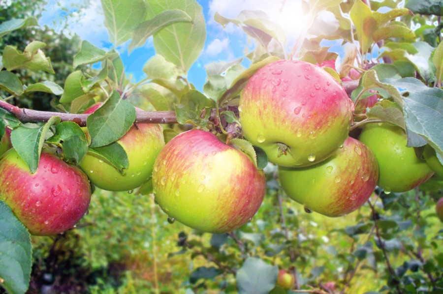 сорта зимних зеленых яблок
