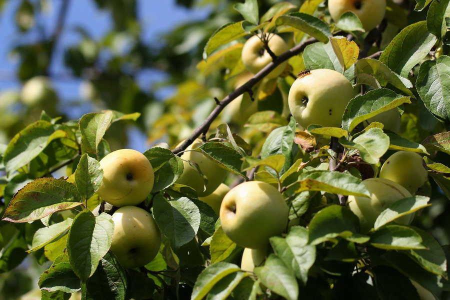 самый зимний сорт яблок