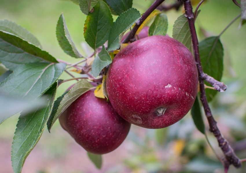 зимние сорта яблок хранящиеся