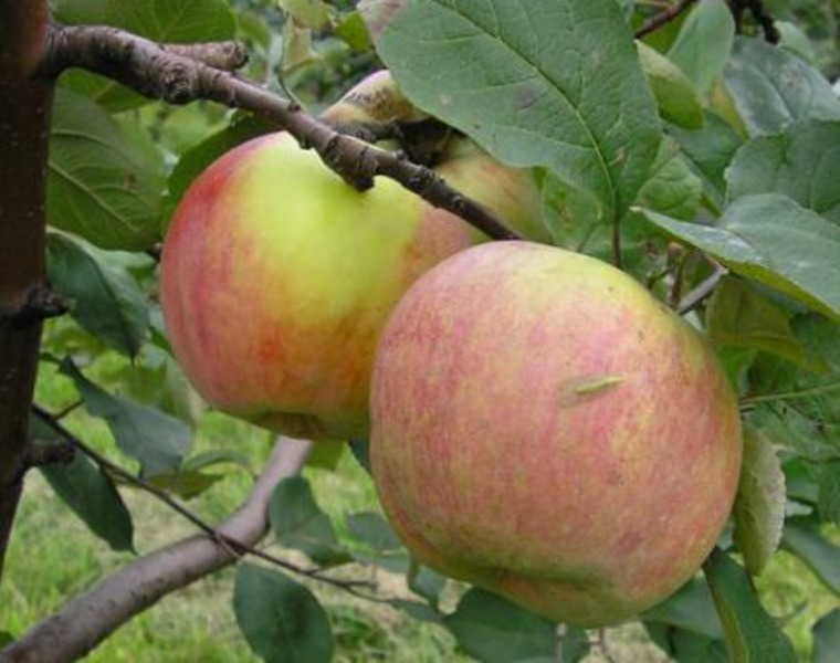 вкуснейший сорт зимних яблок