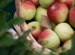 зимние яблоки сорта +с фото