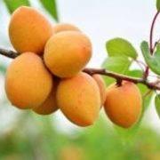 абрикосов