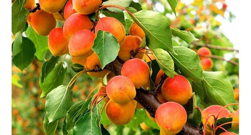 без абрикос