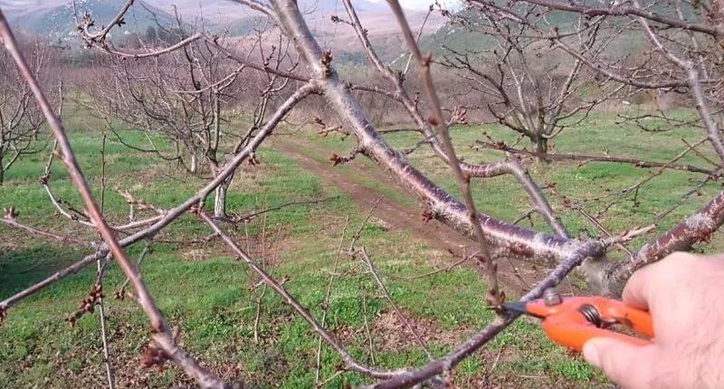обрезки вишни