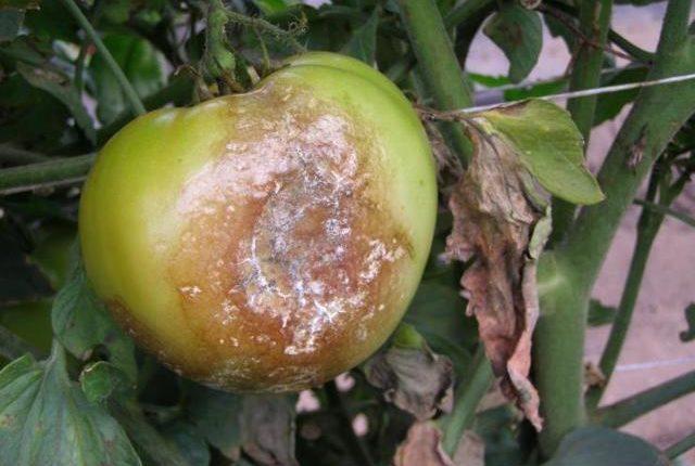 помидор открытый грунт