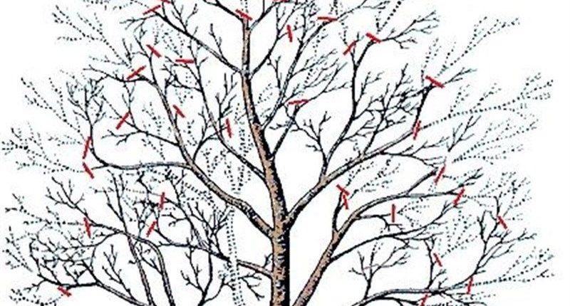 обрезка старой яблони осенью