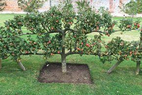 плодовые деревья +и кустарники сада