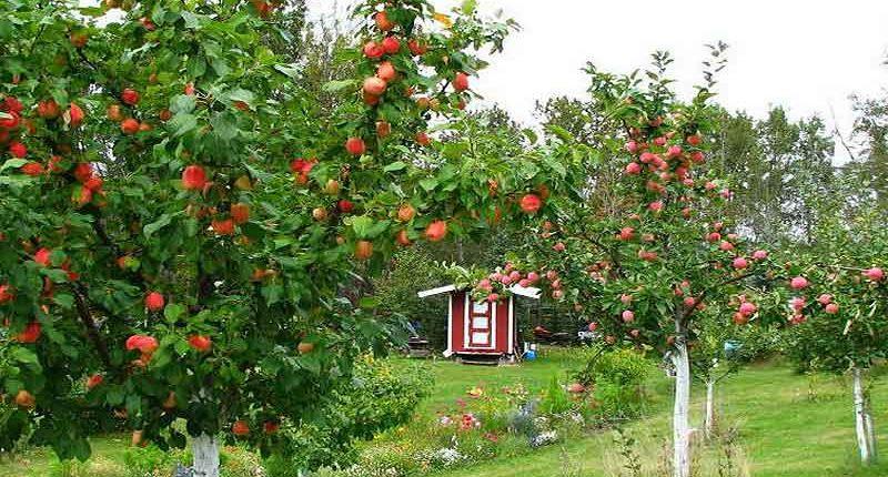 плодовые деревья +для сада