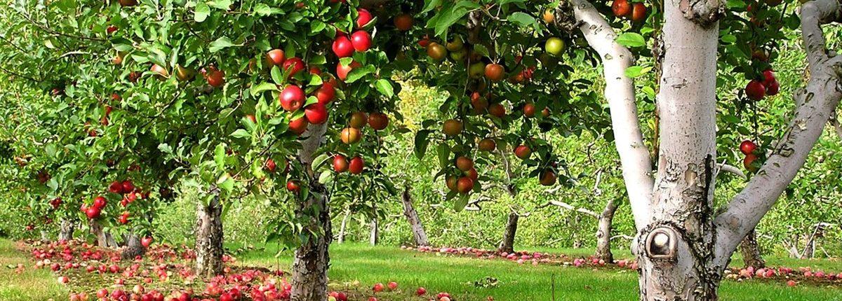 фруктовые деревья +для сада