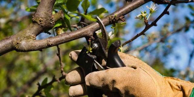 обрезка деревьев секаторы