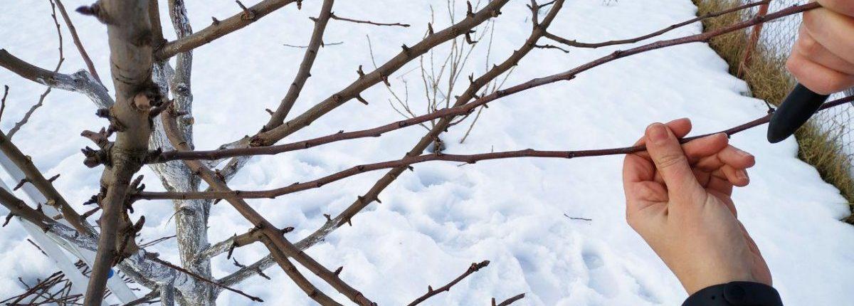 осенняя обрезка яблони +на зиму