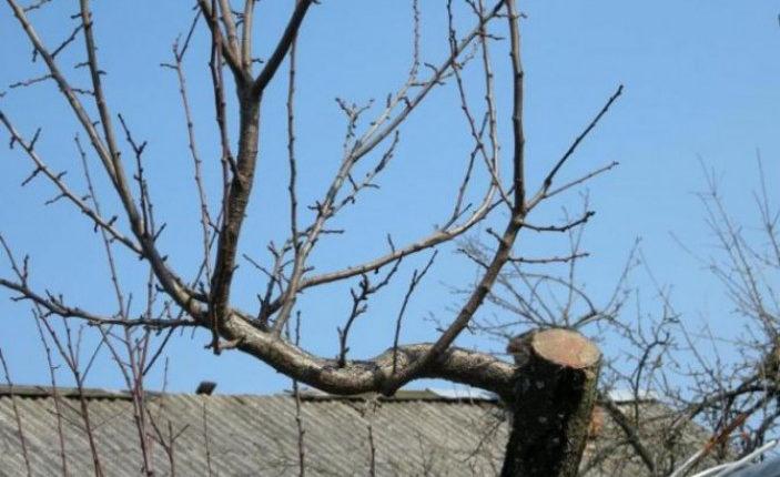 обрезки старой яблони
